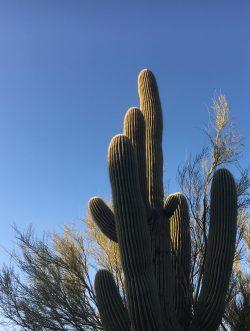 Suguaro cactus in the sun