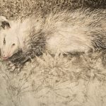 Charcoal and pastel drawing of a possum laying in grass