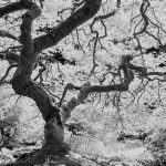 A black and white photograph of a backlit Japanese maple tree in the fall.
