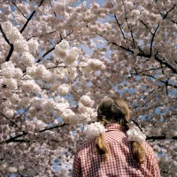 """With the changing of the seasons, """"Sakura Sakura"""" shows how these blossoming gifts from Japan bring Portland's Tom McCall Waterfront Park alive each year."""