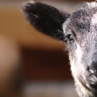 Super-duper adorable baby lamb wants you to pet it!