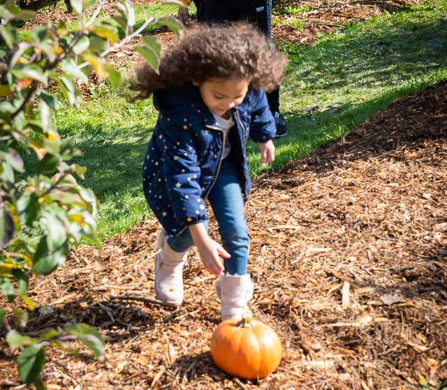 little girl reaching for a pumpkin on the ground
