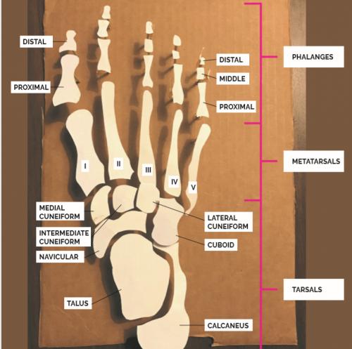 anatomical paper model of the foot bones