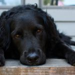 A black dog laying on a wooden deck.