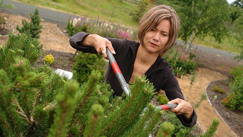 Student pruning an evergreen bush