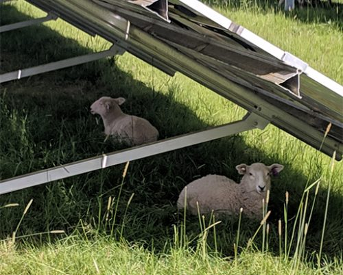 Sheep laying in the shade under the solar panels on the farm at Rock Creek