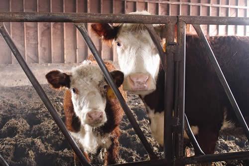Aged animal manure