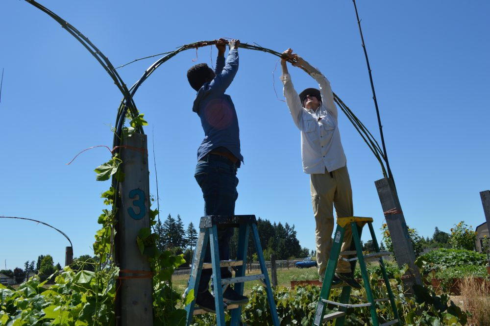 Students creating a grape arbor using bamboo harvested on campus