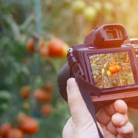 Closeup of a person's hands holding a camera and photographing tomatoes outside during a sunset