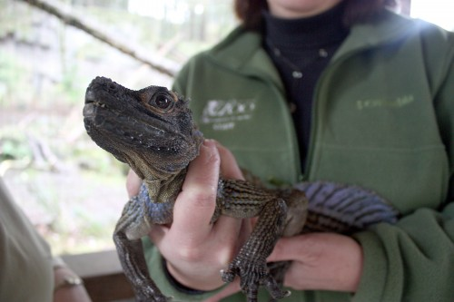 A Water Dragon, or known as a Philippine Sailfin Lizard, made an appearance at the announcement of the PCC and Oregon Zoo partnership.